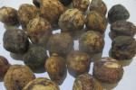 buah kemiri,foto:roni