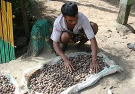 kemiri dikumpulkan petani. Sumber: kiprahagroforestri.blogspot.com