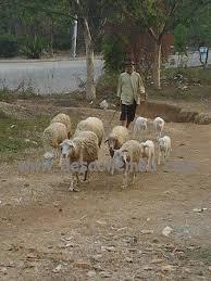 foto gembala kambing b