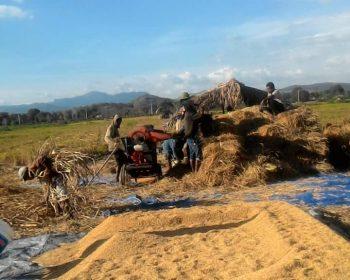 Petani di selatan TTS saat menjemur padi