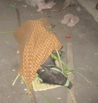 Seekor babi berumur lebih kurang 1 tahun dibawa ke dalam ritual hukum adat perkawinan (foto: Roni)
