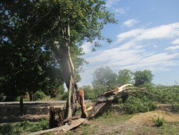 Bagian kedua dari pohon yang nyaris putus dan membayakan bila tidak ditebang