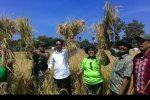 Bupati Sabu Raijua panen raya padi bersama masyarakat